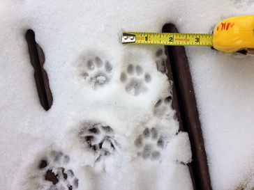 Domestic cat tracks in snow